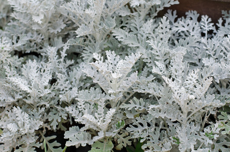 miller: Dusty miller Stock Photo