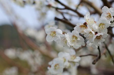 scenary: UME Japanese plum-blossom