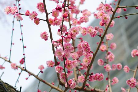 ume: UME Japanese plum-blossom