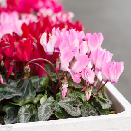 sowbread: Cyclamen hederifolium  blooming in pot, Japan