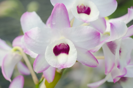 orchid house: Nobile orchid