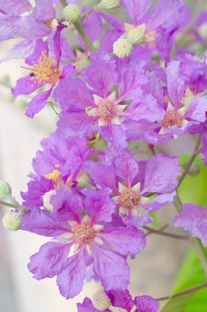 annonaceae: Cananga odorata Stock Photo