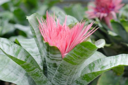 aechmea: Bromeliad (Aechmea fasciata)