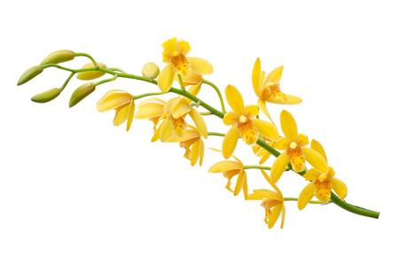 Giallo Dendrobium Orchid su sfondo bianco Archivio Fotografico - 41919836