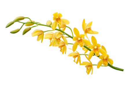 yellow orchid: Yellow Dendrobium Orchid on White Background Stock Photo