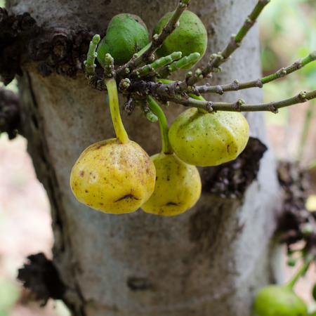 ficus: Ficus racemosa growing on tree