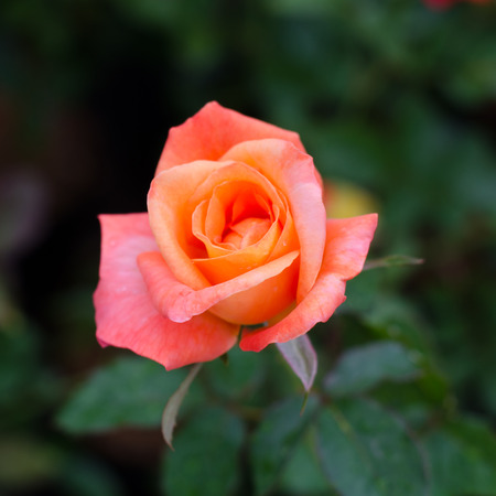 orange rose: orange rose blooming in garden