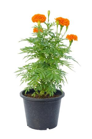 jardines flores: flor de la maravilla en una olla aisladas sobre fondo blanco