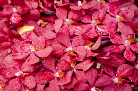 red orchid: Beautiful red orchid background Stock Photo