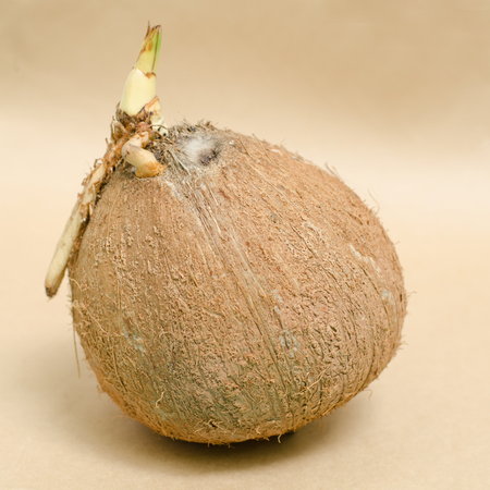 coconut seedlings: Sprout of coconut on brown background Stock Photo