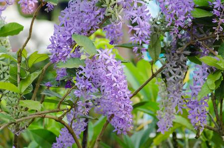 petrea: Petrea Flowers. (Queens Wreath, Sandpaper Vine, Purple Wreath)