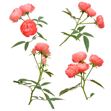 roses petals: Fairy Rose isolated on white background