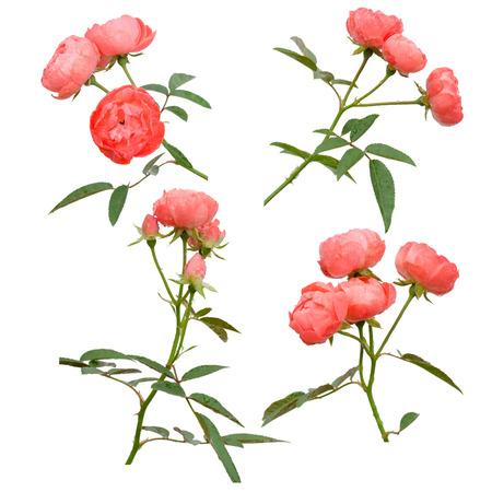 jardines con flores: Hada de Rose aislado en el fondo blanco