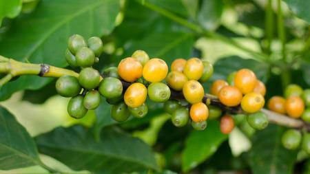 arbol de cafe: Los granos de caf� crecen en los �rboles