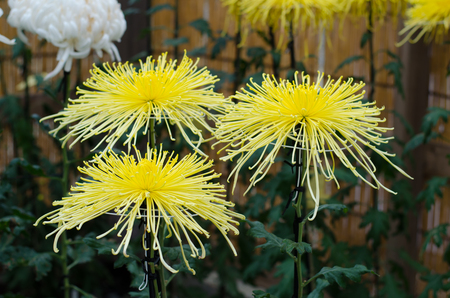 shin: Japanese chrysanthemums on display at the Naritasan Shin shoji temple in Narita, Japan Stock Photo