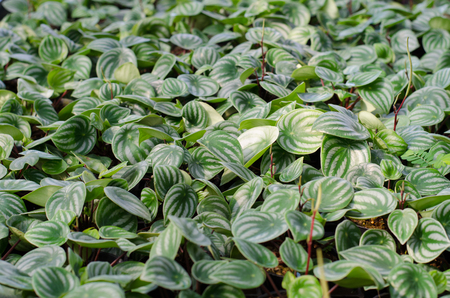 piperaceae: peperromia emerald ripple leaf background Stock Photo