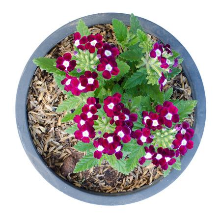 flor morada: Verbena (verbenas o verbenas) en el crisol aislado en el fondo blanco