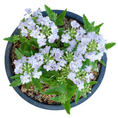 patrones de flores: Verbena (verbenas o verbenas) en el crisol aislado en el fondo blanco