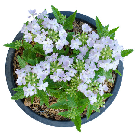 flower leaf: Verbena (verbenas or vervains ) in pot isolated on white background