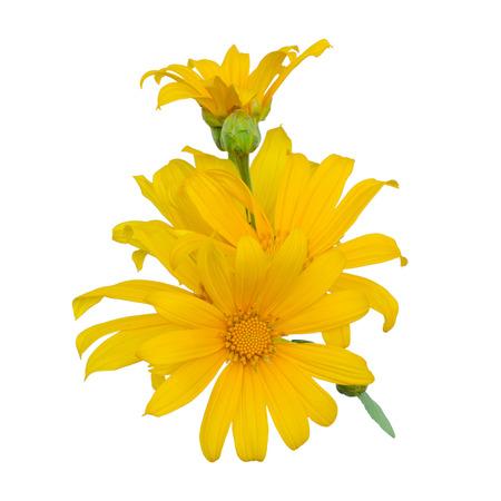 tree marigold: Mexican sunflower, Tithonia diversifolia (Hemsl.) isolated on white background Stock Photo