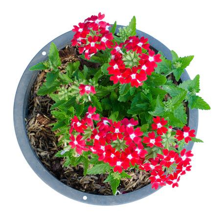 jardines con flores: Verbena (verbenas o verbenas) en el crisol aislado en el fondo blanco