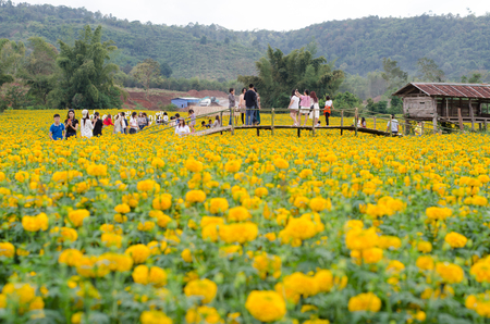loei: LOEI THAILAND - DECEMBER 27 : Tourists taking photos at marigold field in Loei province, Thailand on december 27, 2015 Editorial