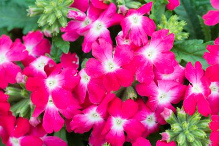 bush to grow up: verbena (verbenas or vervains ) blooming in garden