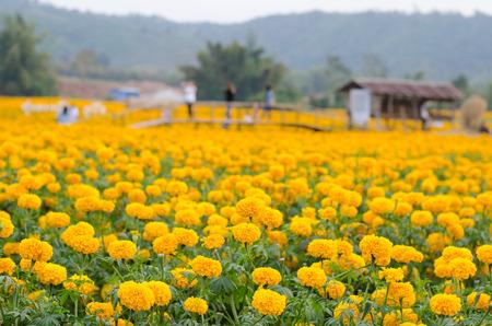 loei: Marigold field in loei province, Thailand Stock Photo