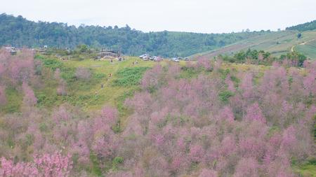 loei: Wild Himalayan Cherry bloomimg on tree at Phu lom lo mountain, Loei provice, Thailand
