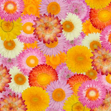 everlasting: straw flower or everlasting  background Stock Photo