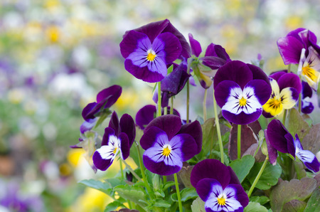 tufted: Viola cornuta, horned pansy, tufted pansy