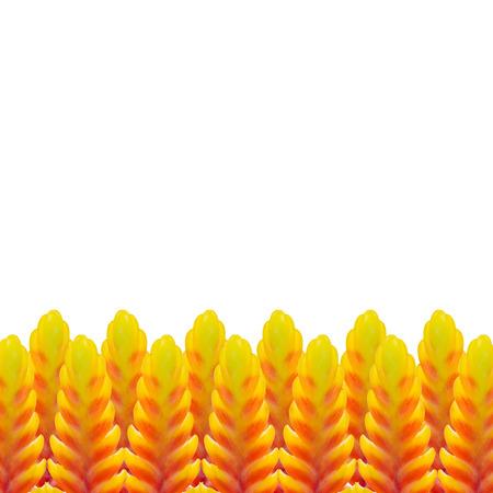 yeloow: Bromeliad flower isolated on white background