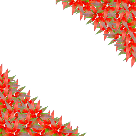 guzmania: Bromeliad frame isolated on white background Stock Photo