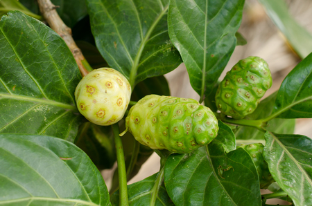 morinda: Noni or Morinda citrifolia, great morinda, Indian mulberry, beach mulberry, or cheese fruit on tree