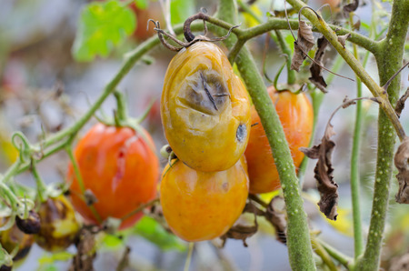 putrefy: rotten tomato on garden