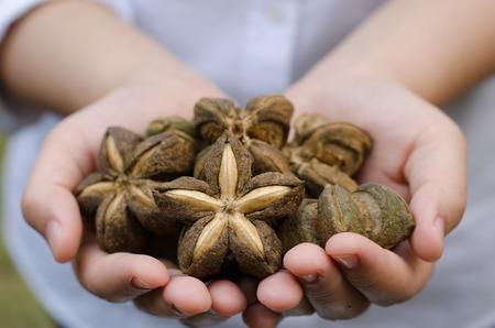 Image of sacha inchi peanut seed on hands