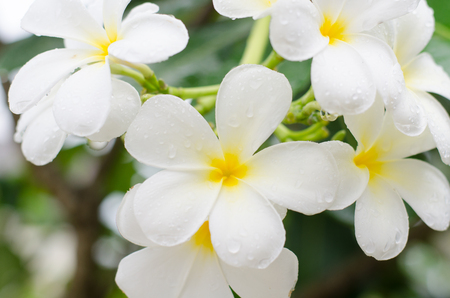 Close up white  plumeria or frangipani flowers with water drop in the park. Stock Photo
