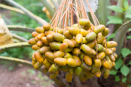 kimri: Cluster of dates hanging from a date palm