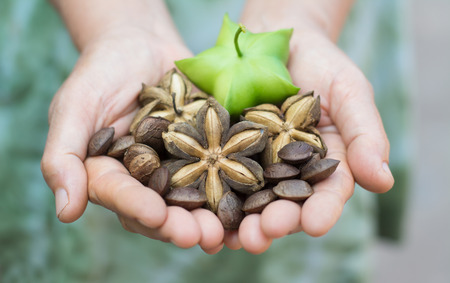 Image of sacha inchi peanut seed in hands