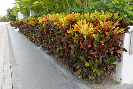 Beautiful garden croton around office building
