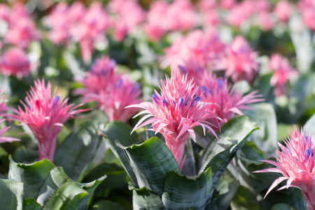 Beautiful Bromeliad Flower Blooming In A Garden Stock Photo