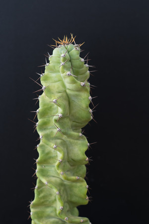 cactus tree isolated black background