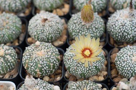 Group of cactus in a pot, succulent plant 版權商用圖片