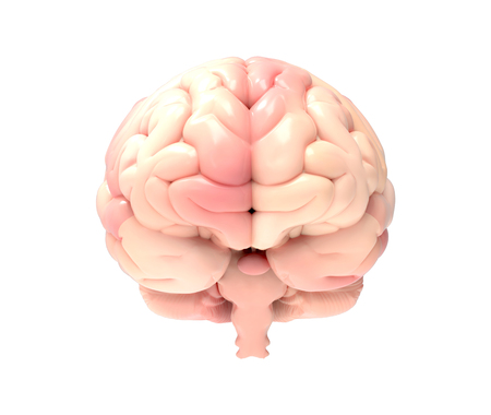 3D brain photo realistic rendering in front view isolated on white background with clipping path for use in any backdrop
