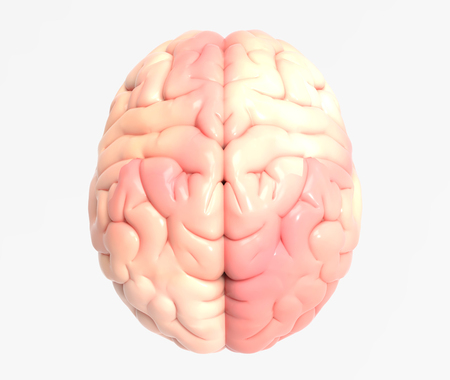 3D brain photo realistic rendering in top view isolated on white background with clipping path for use in any backdrop