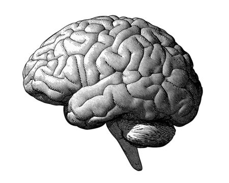 Monochrome engraving brain illustration in side view isolated on white background Иллюстрация