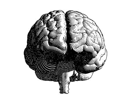 Brain engraving monochrome drawing front view illustration with flow line vintage art style isolated on white background