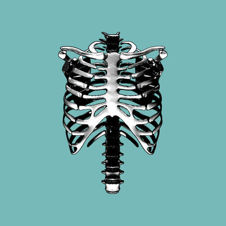 Human rib spine bone front view engraving drawing illustration isolated on green background