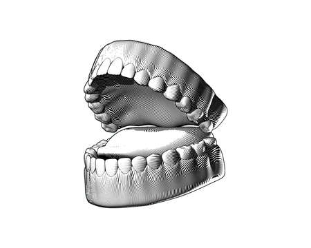 Tooth and gum black and white engraving drawing perspective oblique side view high contrast lighting isolated on white background