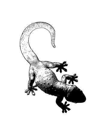 Monochrome engraved vintage vector drawing tokay gecko lizard crawling with dark shadow mood in top camera view isolated on white background